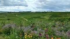 In den Weinbergen bei Selzen (Frank Hamm) Tags: wandern rheinhessen weinberge hahnheim selzen