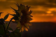 Sundown (Sascha Wolf) Tags: sonnenuntergang nikon sonnenblume tamron sundown feld sommer blume dettenhausen sunset sunflower