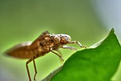 Monster? (W_von_S) Tags: dragonfly libelle natur nature wvons werner sony alpha7rm2 outdoor makro tier insekt animal insect macro zinneberg glonn ebersberg bayern bavaria metamorphose libellenhaut hülle damselfly larvalskin libellenlarve larvenhaut larvenhülle