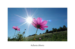 P170053 (Roberto Silverio) Tags: flowers sun flower nature colors natura unesco piemonte fiori colori langhe piemont zuikodigital olympuscamera zuikolens robertosilveriophoto