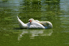 Sleeping (Daniel Nebreda Lucea) Tags: sleep dormir durmiendo sleeping relax break descanso nature naturaleza animal swan cisne water agua lake lago green verde white blanco canon spain espaa travel viajar details detalles beautiful