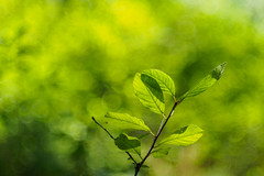 Green is life! (Karsten Gieselmann) Tags: microfourthirds grn vintagelens schrfentiefe czjpancolar50mmf18 em5markii bokeh wald sommer kgiesel dof farbe jahreszeiten olympus color forest green m43 mft seasons summer wood