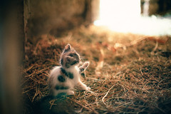 Little soul ( Nino) Tags: cats film field analog cat 35mm canon 50mm countryside nikon dof bokeh kitty kittens s mm manual nikkor 50 35 depth ai f12 f12s