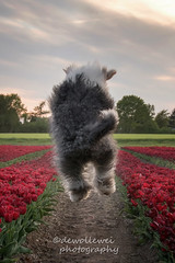 Happiness is found on the way, not at the end of the road. (dewollewei) Tags: oldenglishsheepdog oldenglishsheepdogs old english sheepdog sheepdogs oes bobtail dewollewei wickedwisdoms jane jump jumping happy weekend