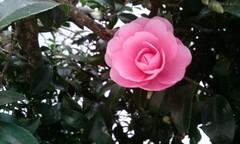 2014 (elvendreams) Tags:       tokyo japan winter flower pink camellia camelliajaponica tsubaki rose butnotarose