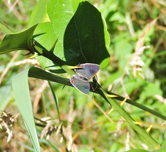 Gray Hairstreak (Strymon melinus) basking on Greenbriar (Nature In a Snap) Tags: edwin b forsythe nwr decamp wildlife trail brick nj new jersey 2016 gray hairstreak strymon melinus basking nature butterfly butterflying butterflier lepidoptera greenbriar