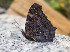 closed because of rain :( (Florian Grundstein) Tags: butterfly schmetterling nachtfalter falter macro insekt nahaufnahme olympus omd em5 zuiko 1240 pro 28 it love i