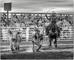 Bull Wrangler (crabsandbeer (Kevin Moore)) Tags: action americana animals battleofthebeast bull bullriding children cowboy horse kids newmarket people rodeo rural smalltown speed sports unionbridge violence wrangler corral whip