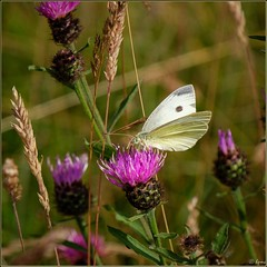 Small White Buttefly on Knapweed (Hector Patrick) Tags: northyorkshire yorkshire insects butterflies smallwhite britnatparks flickrelite twop fujifilmxpro2 fujinonxf18135lmoiswr rosedaleabbey wildlife