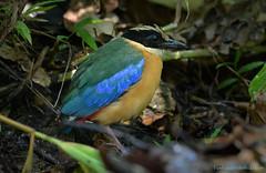 / Blue-winged Pitta / Pitta moluccensis (bambusabird) Tags: nature natural wildlife birdpitta forest rainforest tropical oriental chiangmai thailand bambusabird