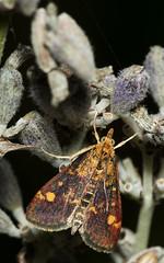 Muntvlindertje_Pyrausta_aurata (bdeclerc) Tags: macro vlinders butterflies lepidoptera