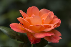 Rose (Rick & Bart) Tags: rose rosas roos flower flora blossem nature rickvink rickbart canon eos70d gününeniyisi thebestofday