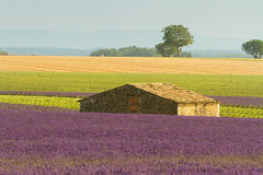 Contrasts in Provence (DrScottA) Tags: 2016 france lavender provence valensole