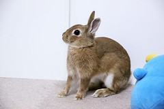 ICHIGO san 418 (mensore) Tags: ichigo san rabbit bunny netherlanddwarf brown cute pet family