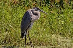 Scanning (brev99) Tags: heron bird highqualityanimals oxleynaturecenter tulsa ngc d7100 tamron70300vc greatblueheron stream marsh grass topazdenoise perfecteffects10 ononesoftware