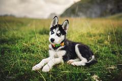 STZ_2757fb (szugic) Tags: dog animal husky siberianhusky nature posing puppy cute alaska montenegro eyes