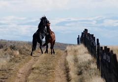 Horses Sparring (ramislevy) Tags: bureauoflandmanagement mcculloughpeaks horse fence spar
