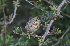 Lincoln's Sparrow (Alan Gutsell) Tags: bird nature photo sparrow migration songbird lincolns lincolnssparrow texasbirds birdsoftexas wildlifephoto emberizine alangutsell