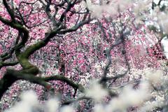 梅のある風景。 (mako_peko) Tags: flower nature japan canon spring dof bokeh 100mm ume 梅 plumblossoms 春 和風