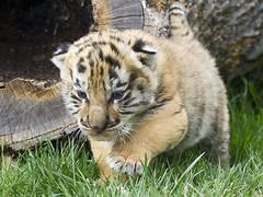 1 (90) (CATS - DOGS) Tags: cats pets dogs animals kedi köpek hayvan hayvanlar köpekler kediler babywhitetiger