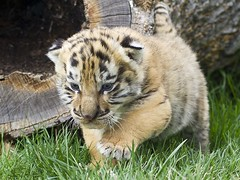 1 (90) (CATS - DOGS) Tags: cats pets dogs animals kedi kpek hayvan hayvanlar kpekler kediler babywhitetiger