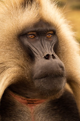 Gelada Baboon; A Portrait (departing(YYZ)) Tags: africa travel wild portrait hairy tourism face animal zeiss hair mammal monkey furry natural sony evolution 55mm baboon fe ethiopia alpha a7 simienmountains sonnartfe55mmf18zalens