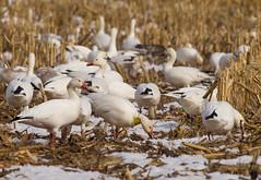World Traveler (paulv2c) Tags: wild snow bird nature geese pennsylvania goose greater snowgoose