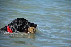 Fetching (Let Ideas Compete) Tags: dog lake wet water swimming swim pond lab colorado labrador boulder retriever labradorretriever collar fetch coot retrieve fetching cootlake labradorretreiver retrieving