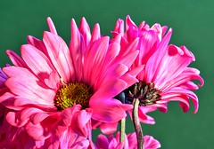 Pretty In Pink (Phyllis74) Tags: pink flower nature