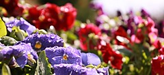 3/30 April Showers bring May flowers! (Bella Lisa) Tags: flowers primavera spring bokeh pansy 330 pansies canon70d aprilamonthin30pictures