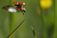 Envol de coccinelle (Samuel Raison) Tags: macro nikon ladybird ladybug coccinelle marienkfer coccinella nikon2860mmmicroaf