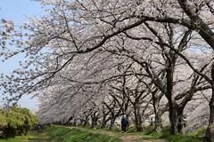さく✪五条川の桜並木① -愛知県犬山市- (m-miki) Tags: japan cherry nikon blossoms 桜 愛知 並木 犬山 春 d610 五条川