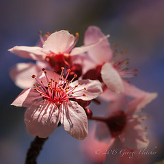 It's a brand new day (GFletch -- persistently behind :)) Tags: macro spring blossom bokeh floweringplum