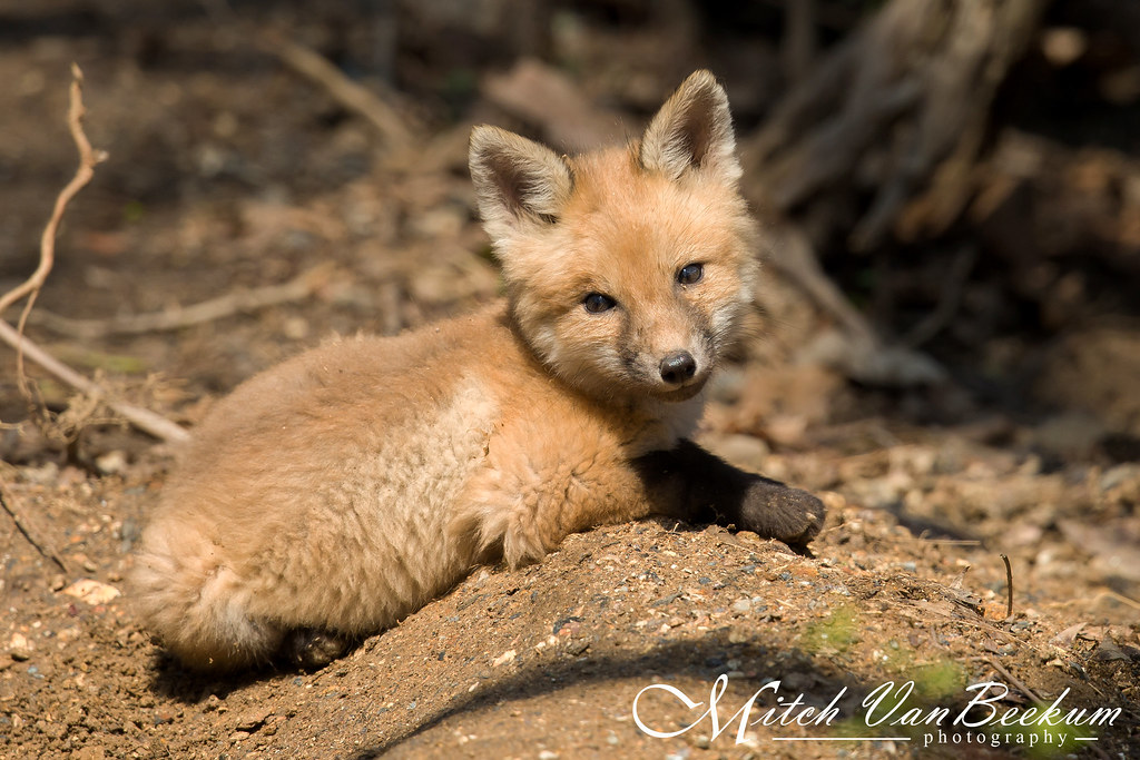This Cutie....  (Red Fox Kit)