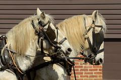 Handsome Horse Couple (hpaich) Tags: horse animal team farm longstreet harness livestock holmdel equine percheron caballe holmdelpark longstreetfarm