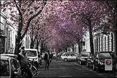 Bonn-Kirschbluete-7 (kurvenalbn) Tags: deutschland bonn pflanzen blumen nordrheinwestfalen frühling kirschbluete