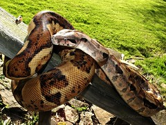 Boa constrictor_2015.04.16 (1 of 4) (Urutu_From_SW_PA) Tags: snake boa snakes boaconstrictor constrictor boid