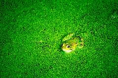 rana (DDH-13) Tags: verde rural rana