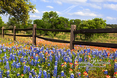 Bluebonnet/Paintbrush Rail Fence