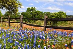 Bluebonnet/Paintbrush Rail Fence