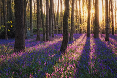 The Wild and Free (Vemsteroo) Tags: wood sunset nature beautiful bluebells forest woodland landscape evening spring fuji dusk fujifilm british bluebell atmospheric warwickshire 18135 beautyinnature xt1 leefilters