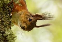Yo! (GaidaFoto) Tags: squirrel yo kevad orav loomad metsloomad