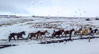 Icelandic horses on the move!