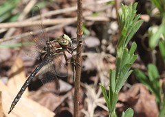 Springtime Darner with Damsel for lunch at Plainsboro Preserve (Tombo Pixels) Tags: newjersey ode dragonfly nj springtime darner odonata plainsboropreserve odonate twb1 plainsboro150527