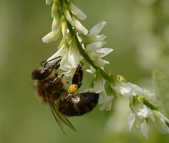 Collecting (YDekkers) Tags: bee insects summer flowers collecting