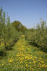 ckuchem-1300 (christine_kuchem) Tags: wiese blte frhling lwenzahn obstbaum frhjahr obstbume streuobstwiese streuobst bltezeit streuobstwiesenweg