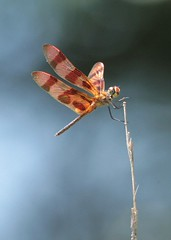 Halloween Pennant dragonfly (hennessy.barb) Tags: dragonfly halloweenpennant insect bug