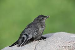 Moqueur chat juvenile - Gray catbird Juvenile (ricketdi) Tags: bird cantley gray graycatbird catbird moqueur moqueurchat chat