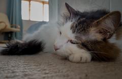Up Close (Landing Lounging) (Tilly the 3-legged cat) (Olympus OM-D EM5II & Lumix 12-32mm Pancake Zoom) (1 of 1) (markdbaynham) Tags: tilly 3legged cat pet cute lumix 1232mm pancake zoom olympus feline omd em5 em5ii csc evil mirrorless lumixer oly mft m43 m43rd micro43 micro43rd