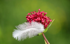 Suspended Beauty (Kapturedbythelenz) Tags: feather valerian texture white